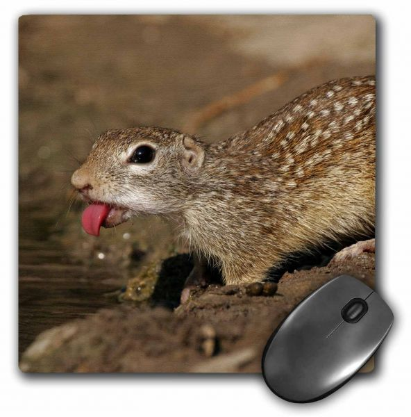 3dRose LLC 8 x 8 x 0.25 Inches Mouse Pad, USA, Texas, Starr County, Mexican Ground Squirrel, Jaynes Gallery (mp_94376_1)